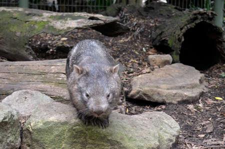 wombat: el wombat com�n es caminar lentamente en las rocas