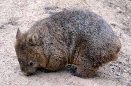 wombat: el wombat es la b�squeda de comida por el suelo