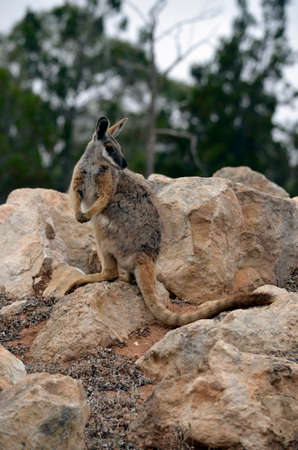 yellow tailed: the yellow tailed rock wallaby is standing on rock ground
