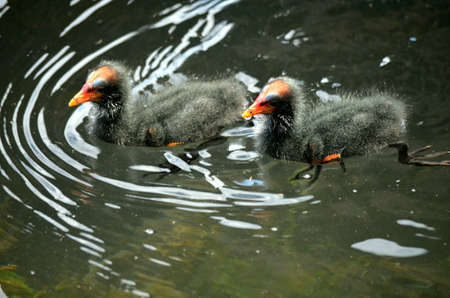 dusty: the dusty moorhen chicks are swimming in a small pond