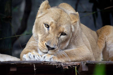 cat grooming: this is a close up of a lioness licking herself Stock Photo