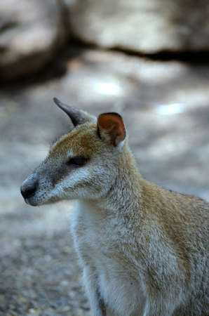 agile: this is a close up of an agile wallaby