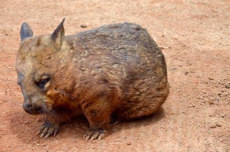 wombat: el wombat olfateado peludo es caminar sobre la arena roja