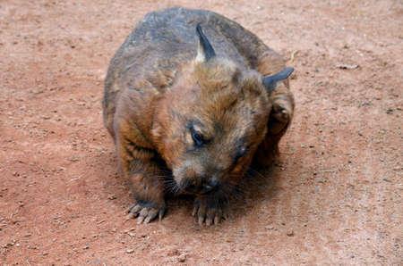 wombat: el wombat olfateado peludo se rasca la oreja