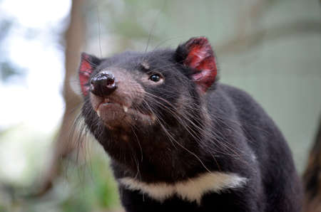 this is a close up of a Tasmanian devil