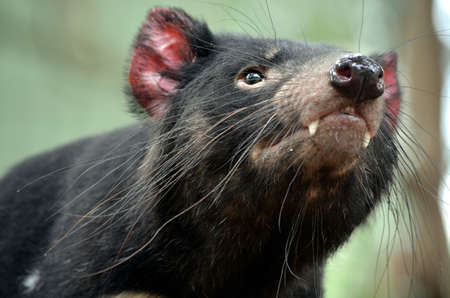 tasmanian: this is a close up of a Tasmanian devil