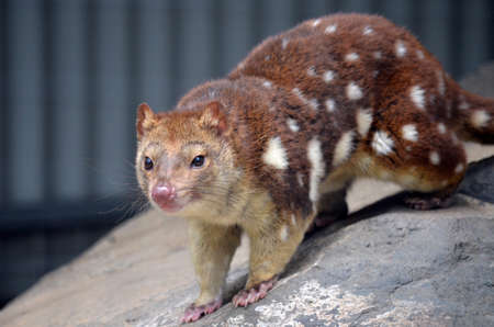 nocturnal: this is a close up of a quoll Stock Photo