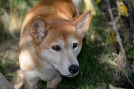 vicious: this is a close up of a golden dingo