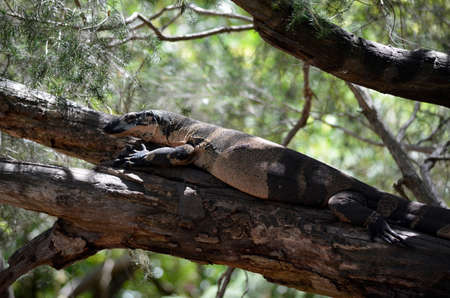 cold blooded: the lace lizard is hiding on a branch of the tree