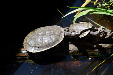 cold blooded: there are 2 turtles sitting on a log in a pond