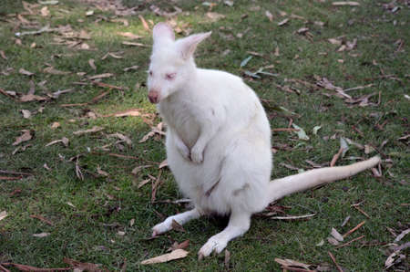 wallaby: this albino wallaby is resting on a grassy patch of land