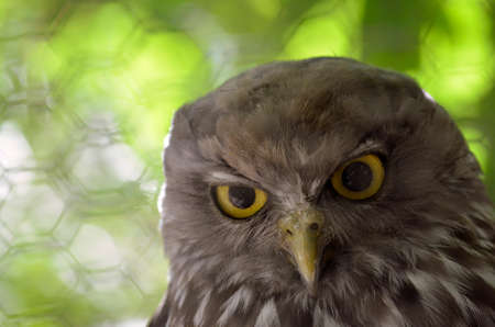raptors: this is a close up of a barking owl