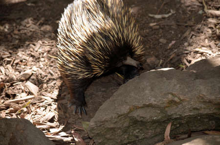 echidna: the echidna is searching the rocks for food