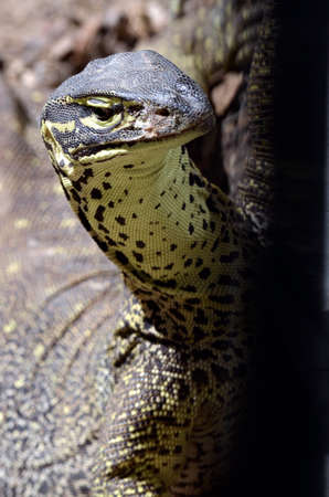 blooded: lace monitor lizard close up