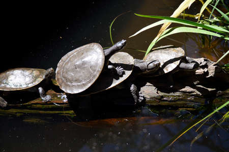 snapping turtle: this is a group of turtles sitting on a log in a pond