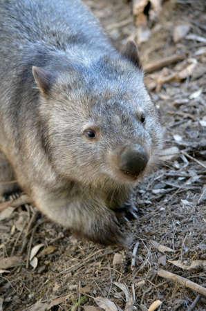 wombat: este es un primer plano de wombat común