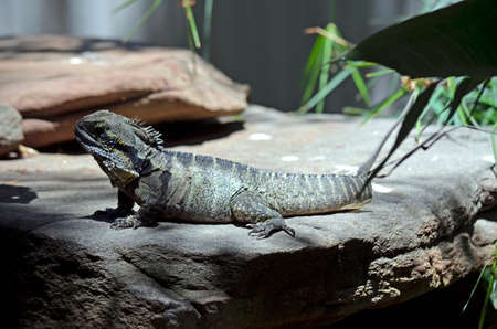 cold blooded: this is a side view of a water dragon lizard