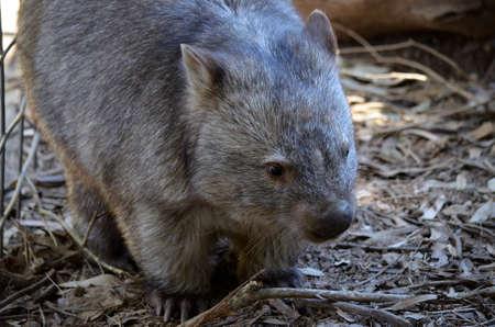 wombat: Este es un primer plano de un wombat común Foto de archivo