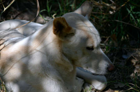 vicious: the golden dingo resting in the shadows