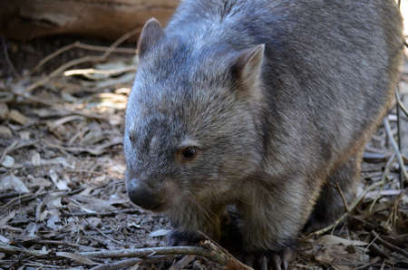 wombat: Este es un primer plano de un wombat com�n Foto de archivo