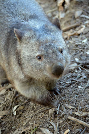 animal pouch: this is a close up of a common wombat Stock Photo