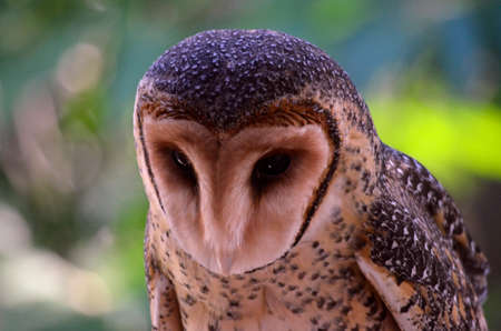 raptors: this is a close up of a masked owl Stock Photo