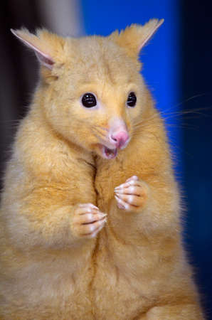 possum: this is a close up of a golden possum Stock Photo