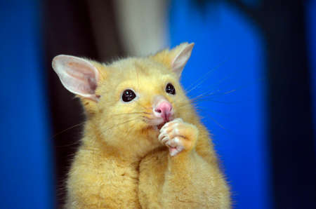 possum: this is a close up of a golden possum Stock Photo