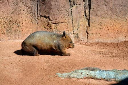 wombat: esta es una vista lateral de un wombat común Foto de archivo