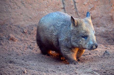 wombat: Este es un primer plano de un wombat