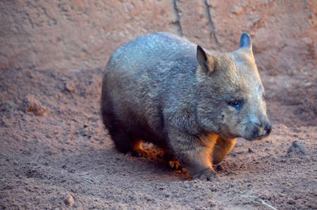 marsupial: this is a close up of a wombat Stock Photo