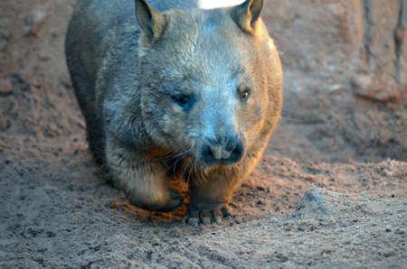 wombat: el wombat común es caminar sobre la arena