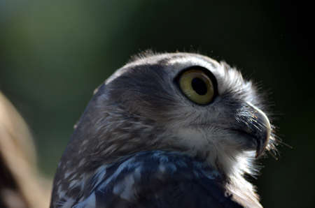 barking: this is a close up of a barking owl
