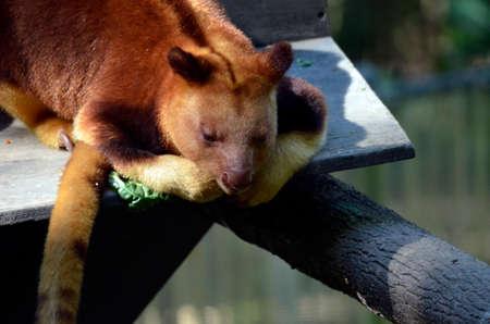 marsupial: the tree kangaroo is on a platform an looking down