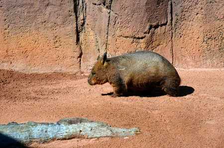 marsupial: this is a side view of a common wombat Stock Photo