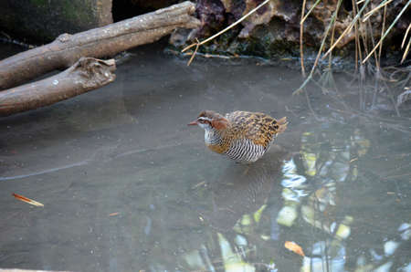 buff: the buff banded rail is walking through water looking for food