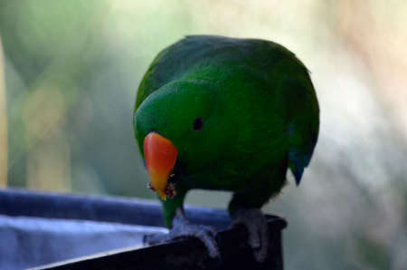 red winged: the red winged parrot is sitting on a feeding dish eating