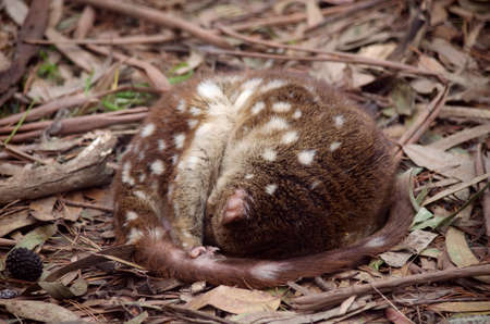 vicious: this is a quoll sleeping in a curled up position Stock Photo