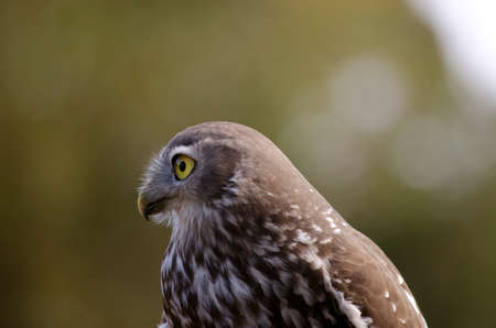 barking: this is a close up of  a barking owl Stock Photo