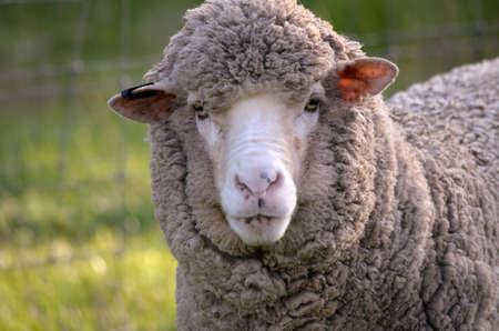 ovejas bebes: este es un primer plano de una oveja Foto de archivo