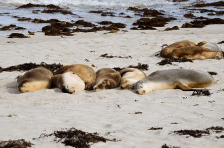 kangaroo island: a group of sea lions are resting on the beach at kangaroo island Stock Photo