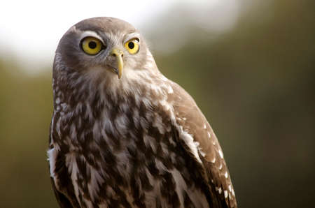 bird eating raptors: this is a close up of a boobook owl