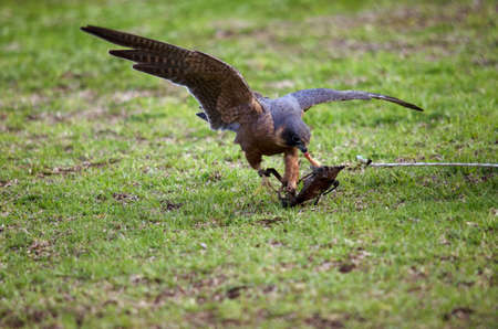 lore: the nankeen kestrel is eating bait from a lore