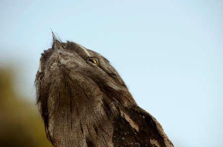 brown  eyed: this is a close up of a frogmouth