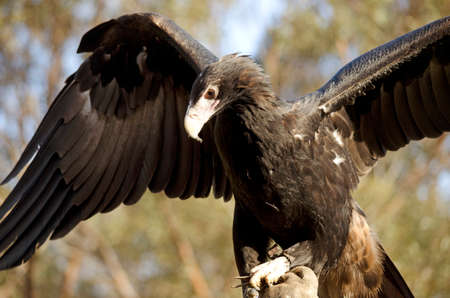 spread eagle: this is a wedge tailed eagle with its wings spread Stock Photo