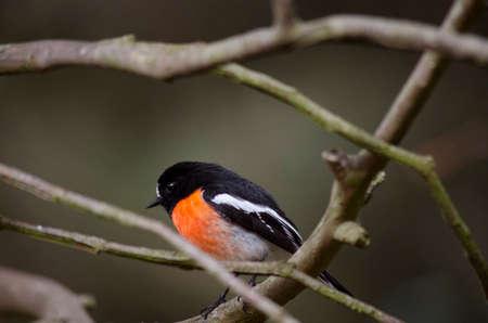 red breast: the robin red breast is perched in a tree Stock Photo