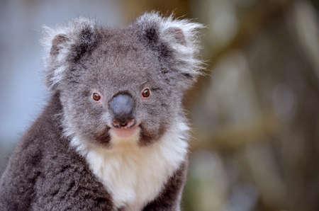 oso blanco: Este es un primer plano de un koala