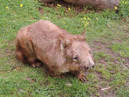 wombat: el wombat está caminando a través de un frield hierba