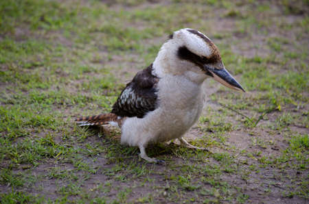 look for: the laughing kookaburra is on the ground look for food Stock Photo
