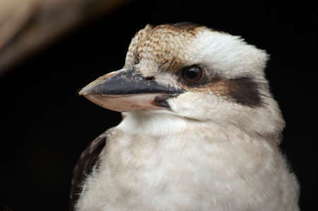 noises: this is a close up of a laughing kookaburra